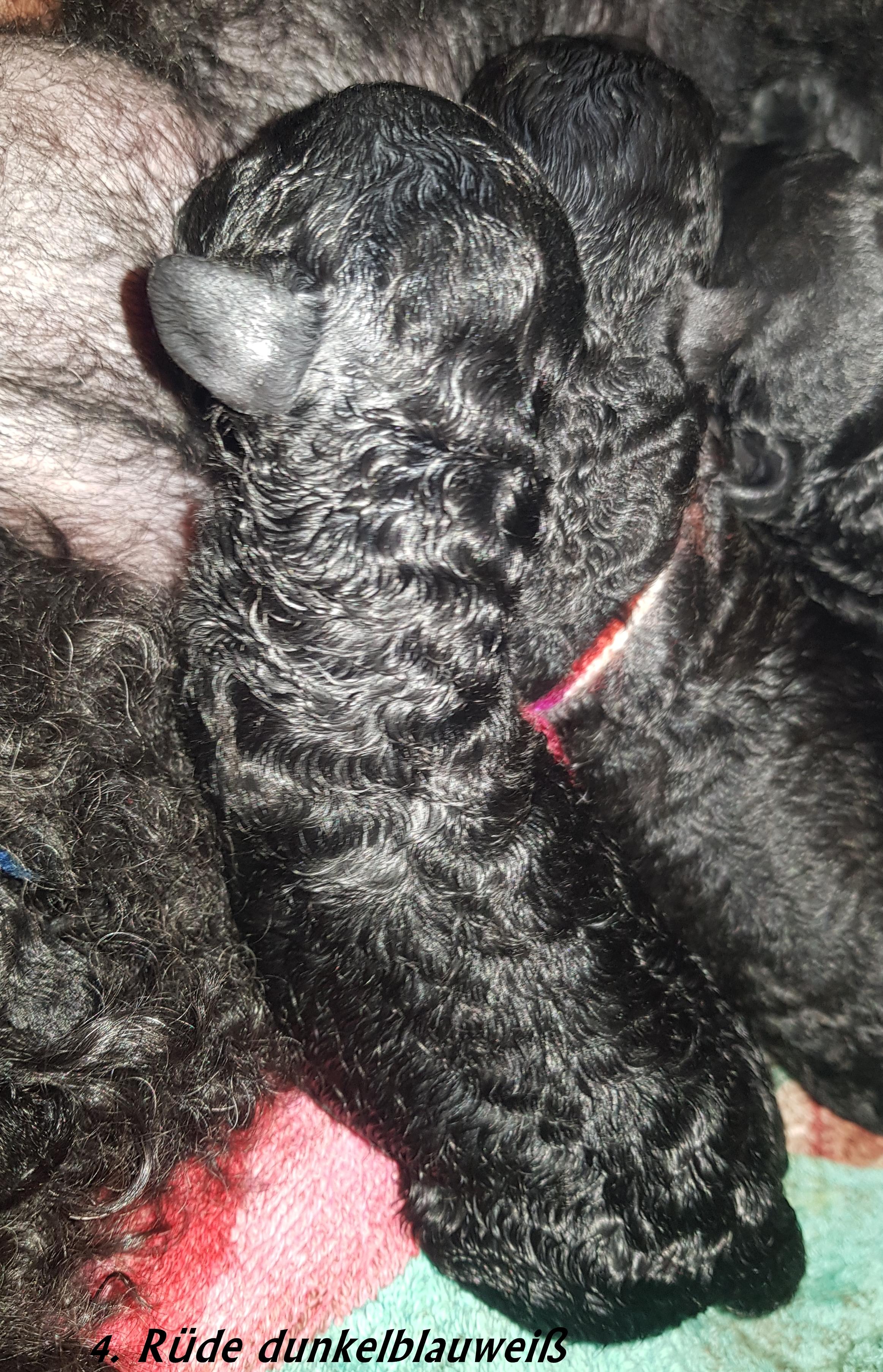 Geburt Rüde dunkelblauweiß